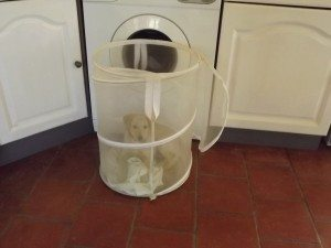 Even Siena was unsure how she got herself into our washing basket...